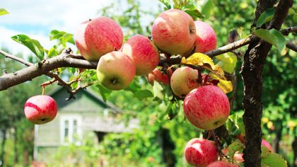 A Fruitful Endeavor: 8 Basics for Growing a Bountiful Backyard Orchard