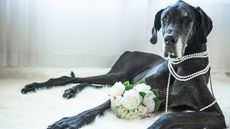 The Best Big Dogs for Apartments: Large Breeds for Small Homes
