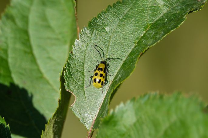 Spotted cucumber beetle on a leaf in autumn