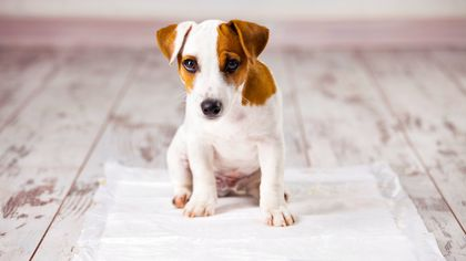 How to Housetrain a Dog Without Sacrificing Your Floors