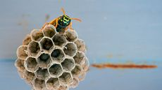 How to Get Rid of Wasps—and What to Do If You Find a Nest