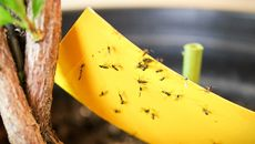 How To Get Rid of Fungus Gnats, a Common Houseplant Pest