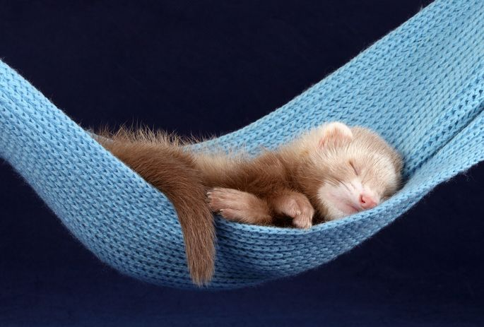 Who's a tired ferret?