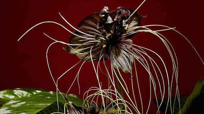 Black Bat Flower 2