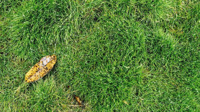 Zoysia, or Manila grass