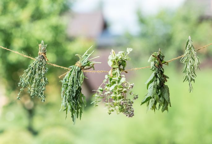 Harvest late-summer herbs, and hang them to dry.
