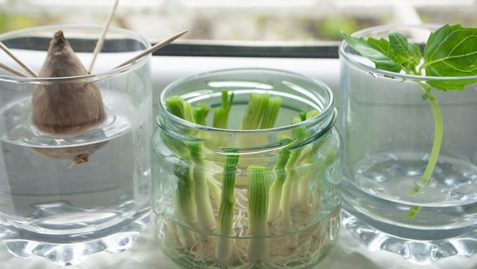 Growing green onions scallions from scraps by propagating in water in a jar on a window sill, basil rooting in water and avocado growing from seed with toothpicks for support