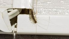 How House Centipedes Could Indicate You Have a Bigger Pest Problem