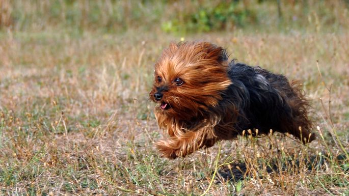 The Yorkie barks a lot, which could annoy your neighbors.