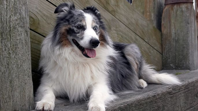 Bred to herd, the border collie will get restless when cooped up in a small space.