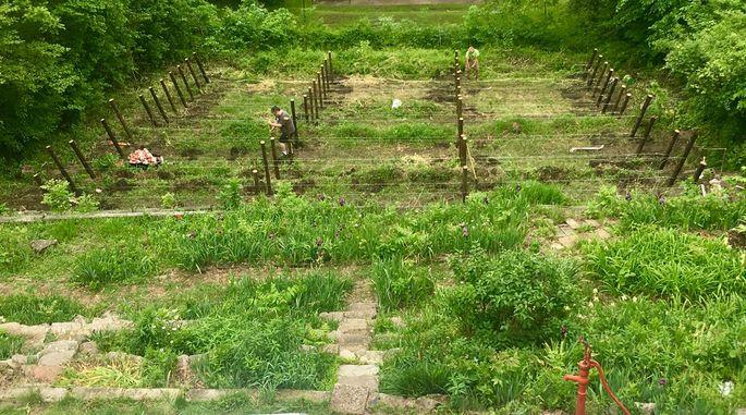 Newly installed vineyard