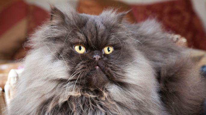 bengal cat size chart