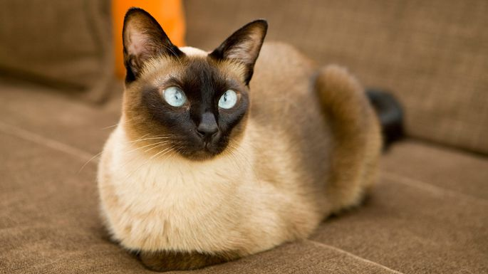 Best Cat Breeds For Apartment Living Realtor Com
