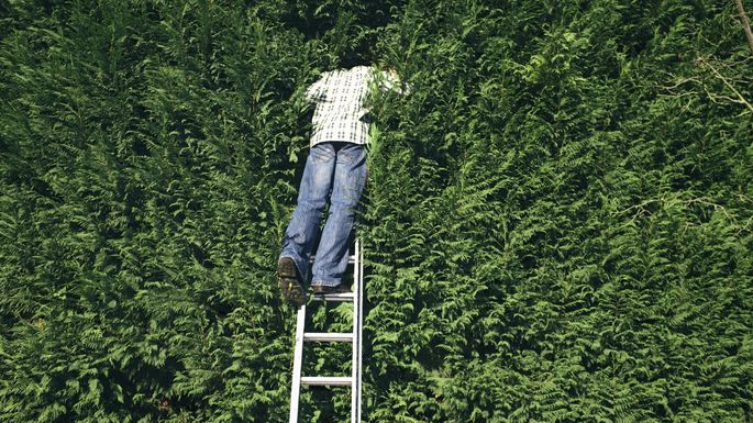 Young man standing on ladder looking into hedge, rear view