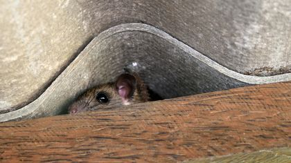 How to Get Rid of Mice for Good: Surefire Tactics to Remove Those Rascally Rodents