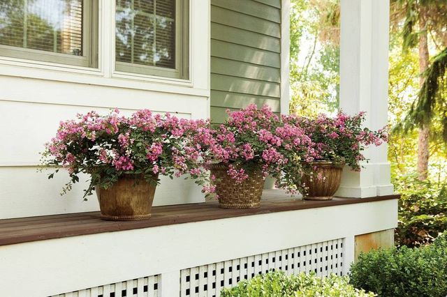 44 mejores arbustos para contenedores | Mejores plantas de jardinería de contenedores | Balcón Jardín Web