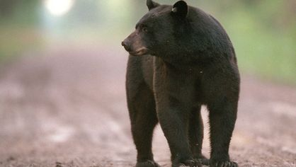 As Southern Cities Sprawl, People Are Bumping Into More Bears