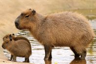 Could the World's Largest Rodent Be the Next Hot Pet?