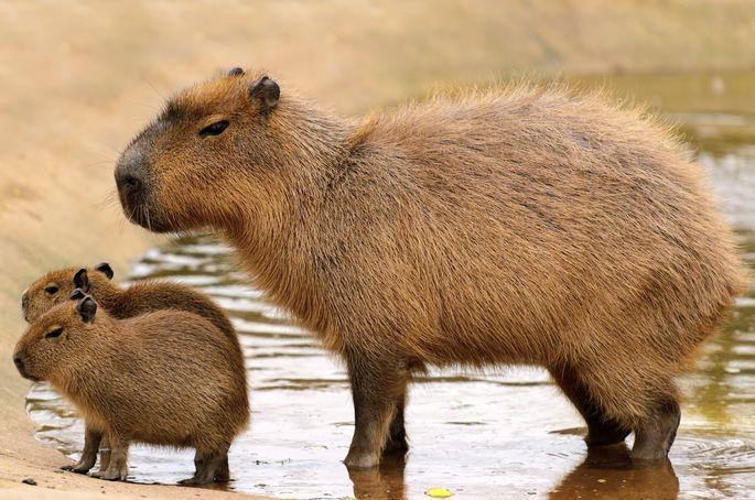 could-capybaras-be-the-next-hot-pet