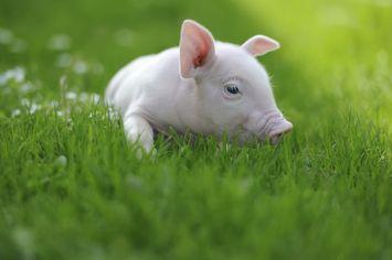 Pig in the City: Do Porkies Quash Real Estate Values?
