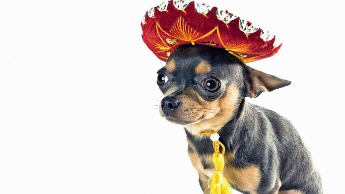 The Chihuahua tends to bark a lot and needs a lot of potty breaks.