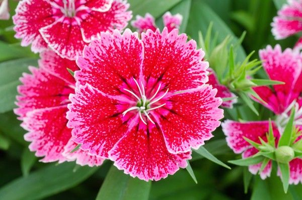 6 Steps For Brightening Your Garden With Colorful Dianthus