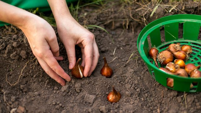 For spring tulips, you'll need to plant bulbs in fall.