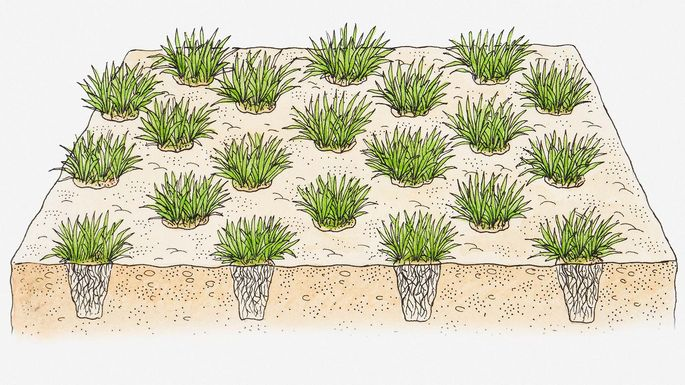 Illustration of plugs used to turf a lawn