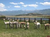Live Llarge in Llama Land With These 6 Stunning Farms and Ranches