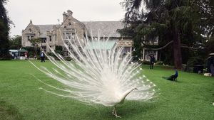 playboy-mansion-peacock