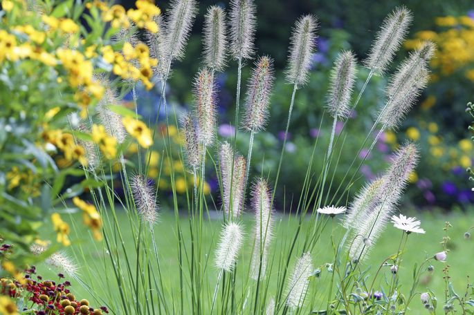 Feathery fountain grass can pose a fire hazard.