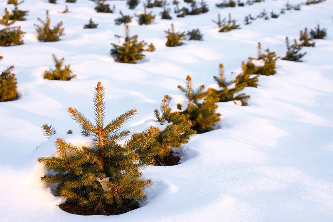 christmas tree farm - How Many Christmas Trees Per Acre