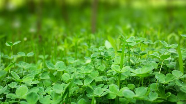 How to Get Rid of Clover and Keep Your Lawn Pristine