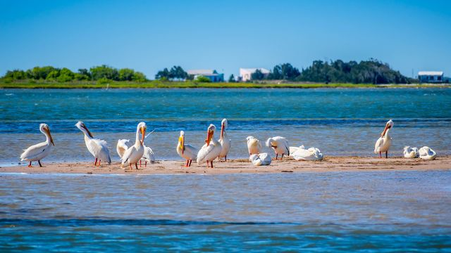 Pelicans on Padre Island National Seashore