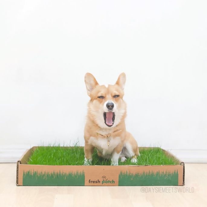 Need an Indoor Dog Potty? The World Beyond Wee-Wee Pads | realtor.com®
