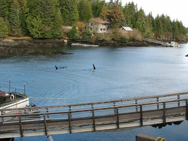 Orcas nearby