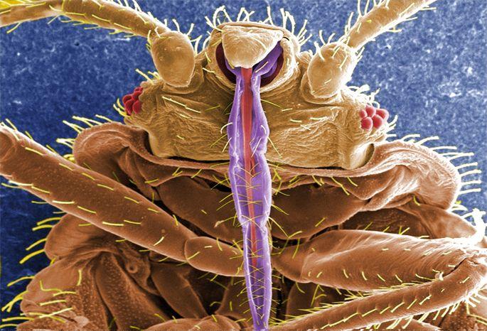 bedbug_Janice Harney Carr_CDC