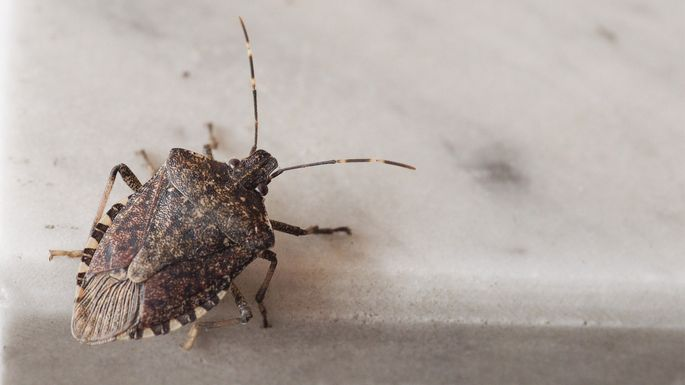 How To Get Rid Of Stink Bugs And Prevent Them From Coming Back