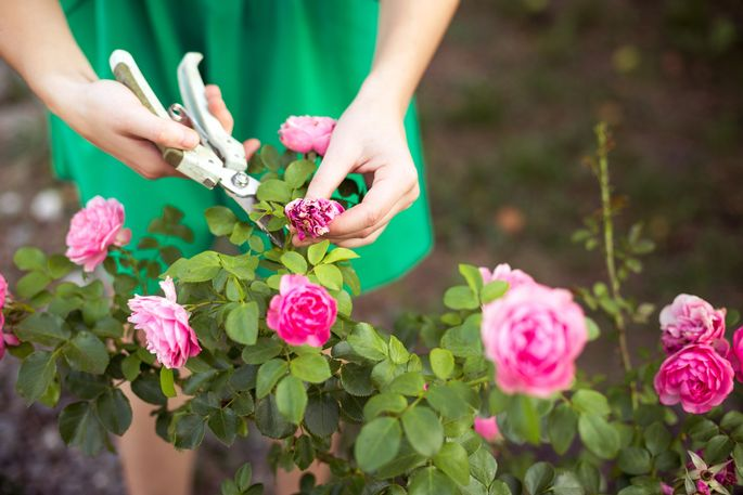 If you want to smell the roses this spring, prune before they bloom.