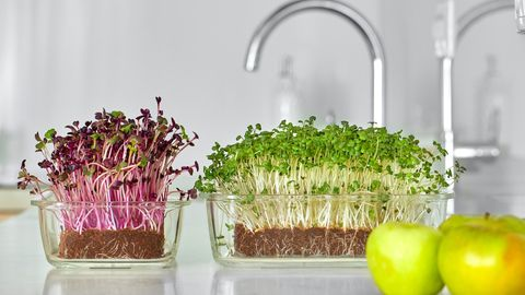 How To Grow Microgreens at Home for Fresh Sprouts All Winter Long