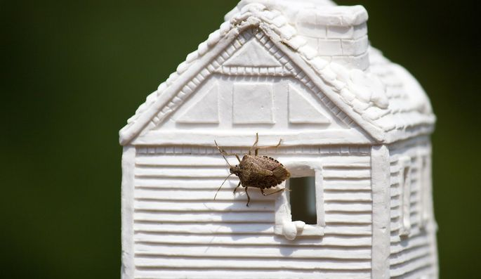 Stink bugs have been seen invading homes all over the Eastern U.S., from Maine to South Carolina.