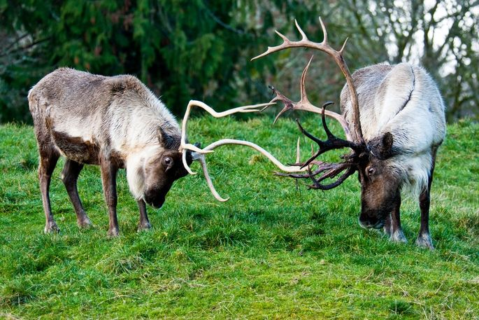 Rubbing antlers in Washington state.