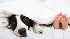Dogs in the Bed Won't Disrupt Your Sleep, but What About Those Germs?