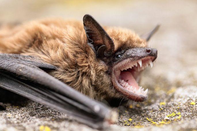 bat-teeth