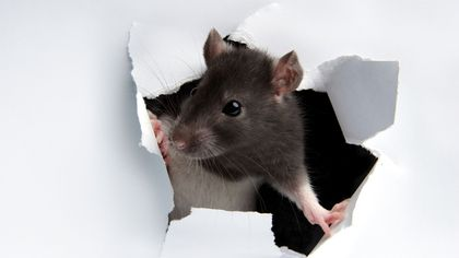 Don't Call the Exterminator! Why Some Folks Are Welcoming Rats Into Their Homes