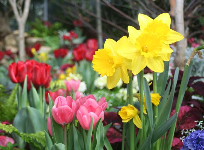 Daffodils and tulips are perennials.