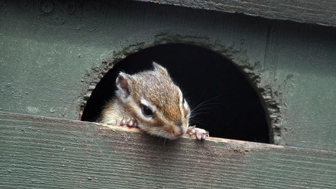 How To Get Rid Of Chipmunks And Keep Them Away For Good Realtor Com