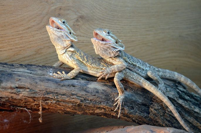 Believe it or not, bearded dragons are great for first-time pet owners.