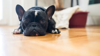 Need to Replace Pet-Damaged Carpet? These Are the Best Flooring Options