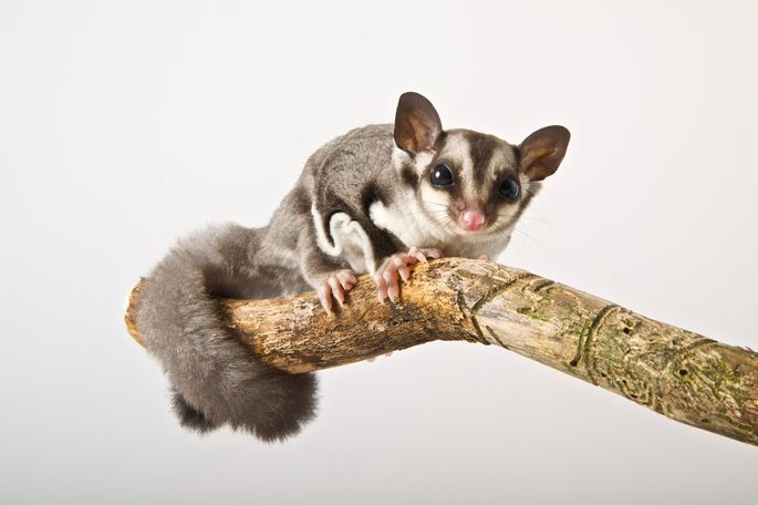 Watch out, the sugar glider can fly! Well, it glides, at least.